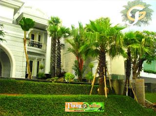 pohon palm untuk taman