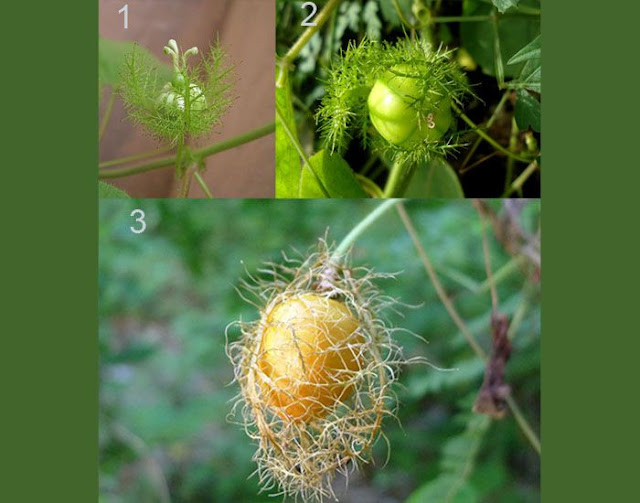 https://tipspetani.blogspot.com/2019/11/tanaman-rambat-dengan-buah-yang.html