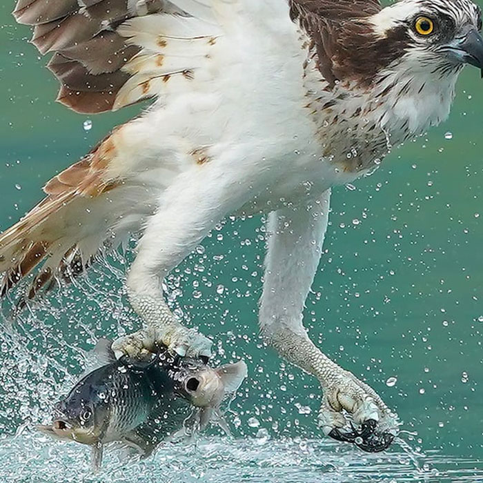 Ospreys Hunting's Viral Photos Of How Majestic And Precise Their Dive Is