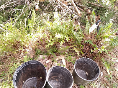 ferns and nursery pots