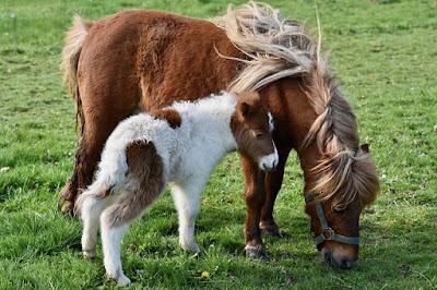 Gambar kuda poni dan keledai