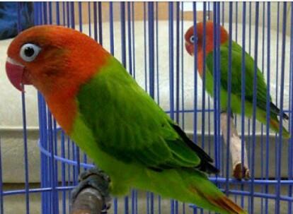 Tips Perawatan Lovebird Jantan Agar Bisa Stabil  Saat di Lapangan
