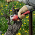 تقليم شجرة العنب (الزبيرة)