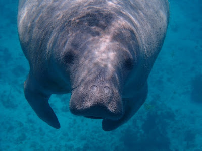 Manatees are large peaceful creatures that have many features showing their design by the Master Engineer.