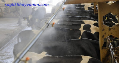 sığırlarda stres nedenleri
