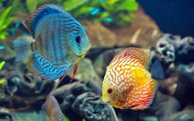 Ikan Discus asal sungai amazon
