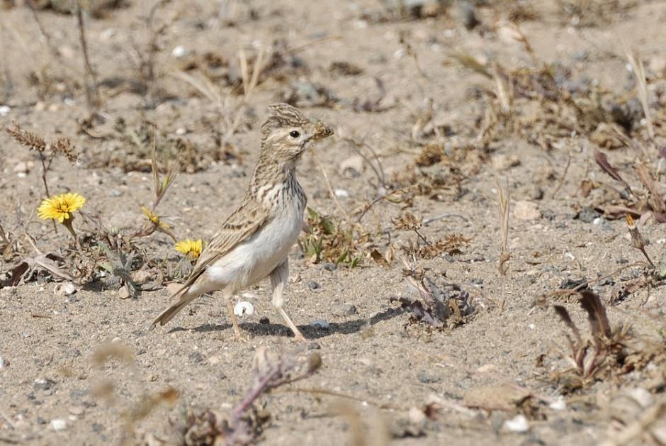 european birds Lark