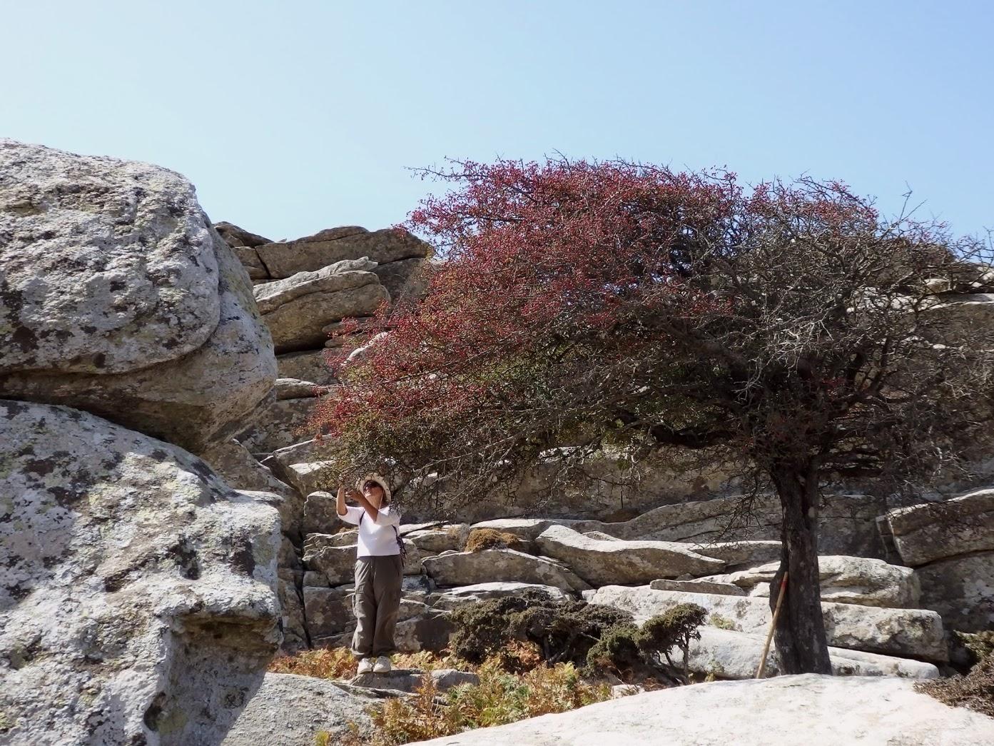 Κράταιγος ή (ικαρ.) «Περικαθέ», ένα πολύ χαρακτηριστικό δέντρο των βουνών της Ικαρίας