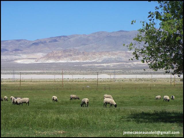Moutons dans le désert