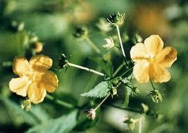 arbustos argentinos Botón de oro Pavonia sepium