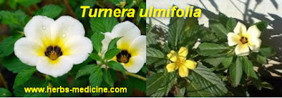 benefit Turnera ulmifolia for Hepatitis c