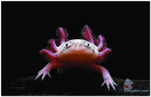 Gambar bagian muka Axolotl salamander bertanduk merah menyerupai hewan-hewan film fiksi ilmiah