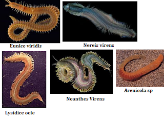 kelompok binatang dengan bentuk badan menyerupai susunan cincin Pengertian Umum Annelida Beserta Ciri-Ciri, Klasifikasi, Reproduksi dan Peranan