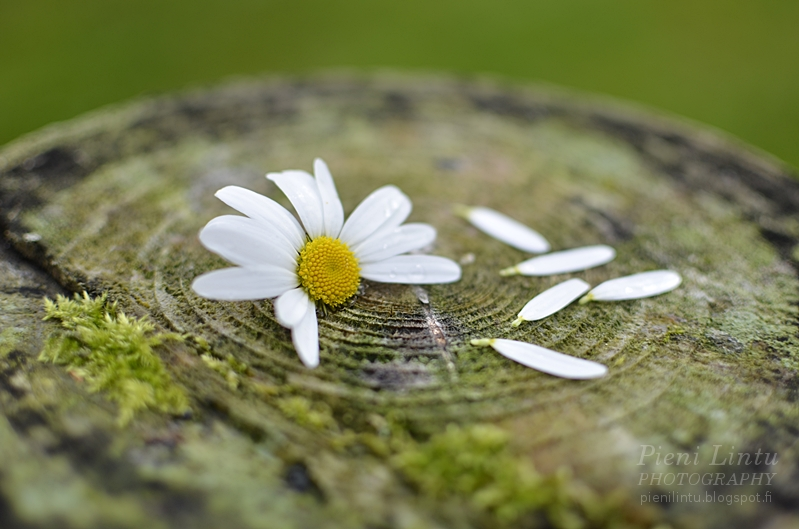 Daisy Flower Photo by Pieni Lintu