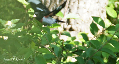 male rose-breasted grosbeak in flight
