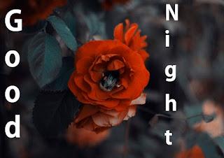 good night rose flower images