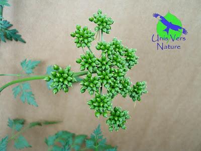 fruits petite ciguë stages plantes sauvages Franche comté bourgogne