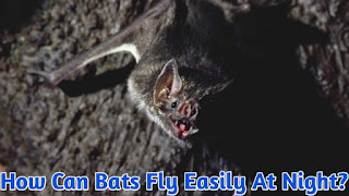 How can bats fly easily at night?