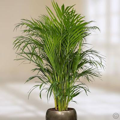 Jenis pohon Palem bambu Chamaedorea erumpems