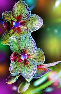 orquidea-multicolor