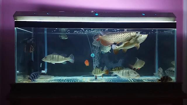Rekomendasi Ikan Hias Perenang Bawah