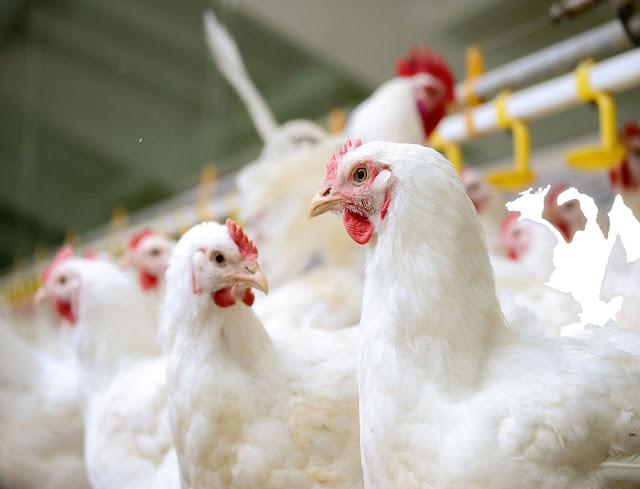 usaha peternakan ayam potong