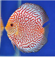 Sejarah Ikan Hias Discus blonteng