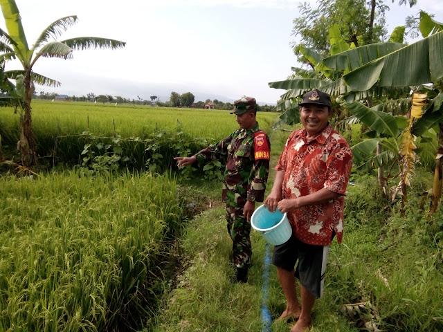 Kodim Sragen - Desa Tegalrejo Masih Unggulkan Varietas Ciherang