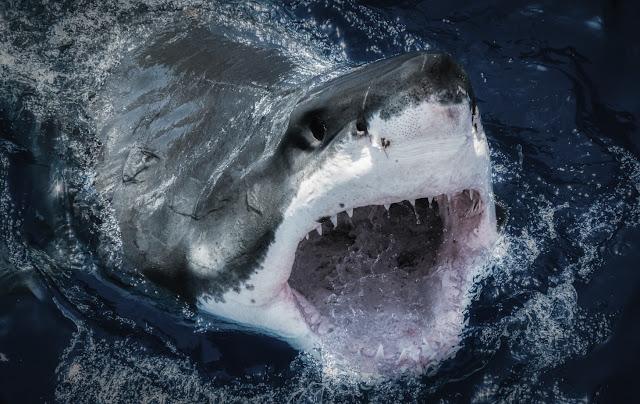 Un tiburón blanco abre su boca. Autor Edgar Becerril