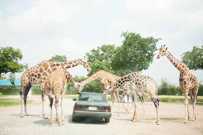 Жирафы окружили машину