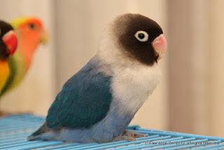 lovebird kacamata topeng