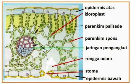 Jaringan Epidermis dan Jaringan Parenkim Pada Tumbuhan