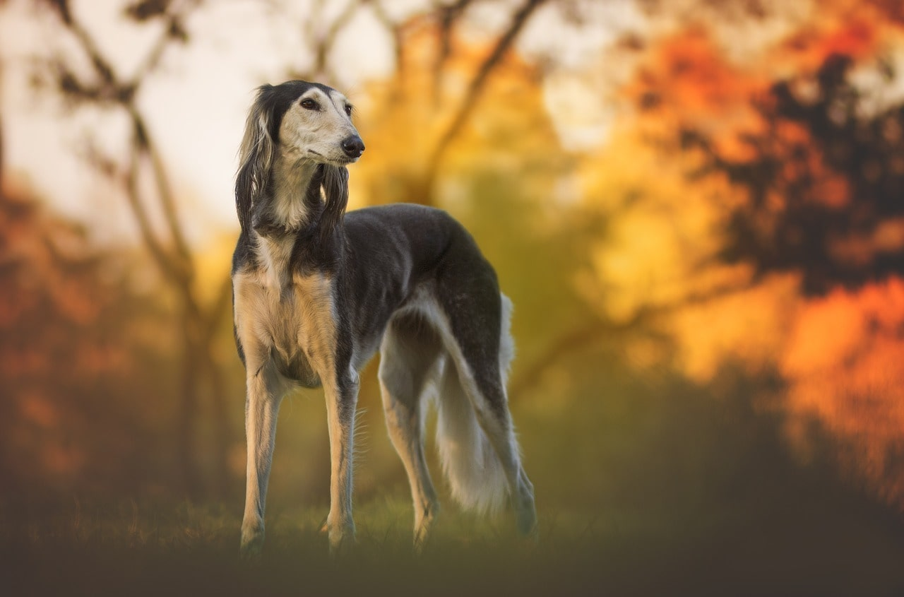 African Dog Breeds - Top 11 Mind Blowing South African Dog BreedsAfrican Dog Breeds