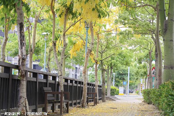 《台中.南屯》新富路自行車道 阿勃勒與美人樹棉花的相遇