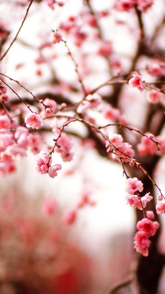 Flores Rosas, Sakura, Cerejeira
