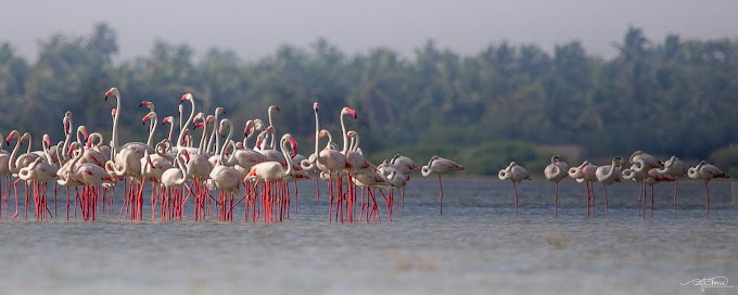 Two Flocks Greater Flamingos at Thondamanaru, Jaffna, Sri Lanka