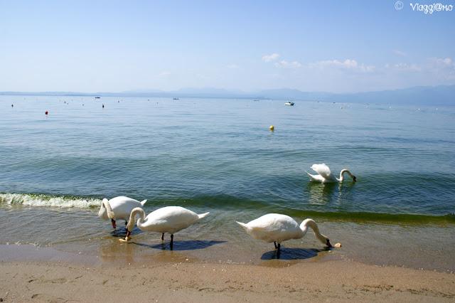 Cigni in spiaggia sul lungolago di Lazise
