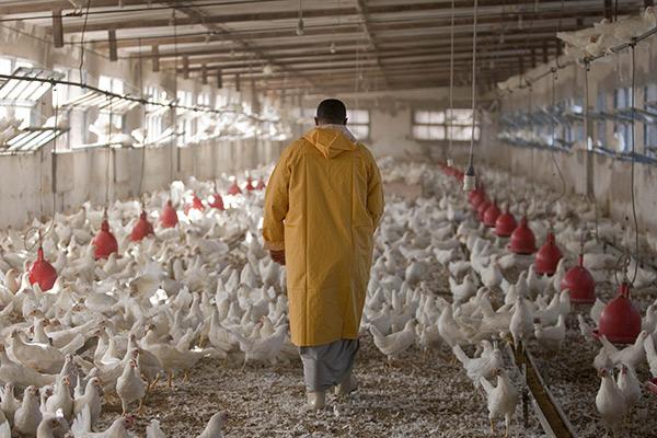 Projets, aviculture, élevage, poulet, poulailler, poussin, œufs, chair, production, entreprenariat, développement, économie, import, export, secteur, agriculture, emploi, financement, alimentaire, population, LEUKSENEGAL, Dakar, Sénégal, Afrique