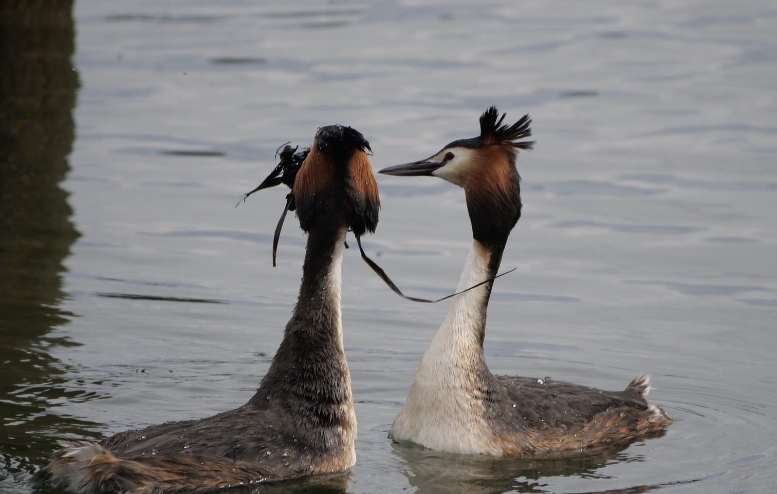 Great crested grebe courtship.