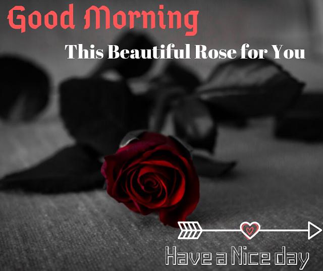 A mild color rose  Good Morning  Images