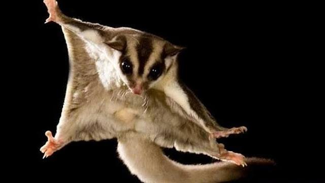 ardillas voladoras