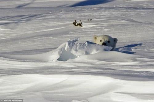 لحظة خروج دب قطبي دفن نفسه 8 أيام وسط الجليد 69204_15080.jpg