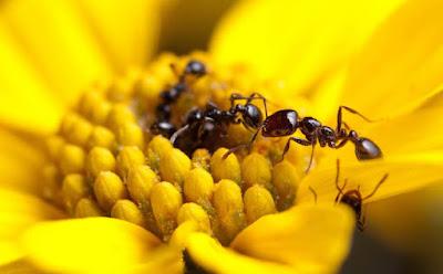 El genero de las hormigas