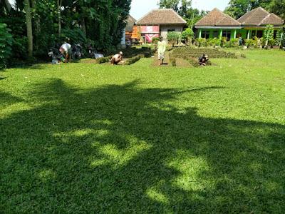 Jual Rumput Gajah Mini Malang