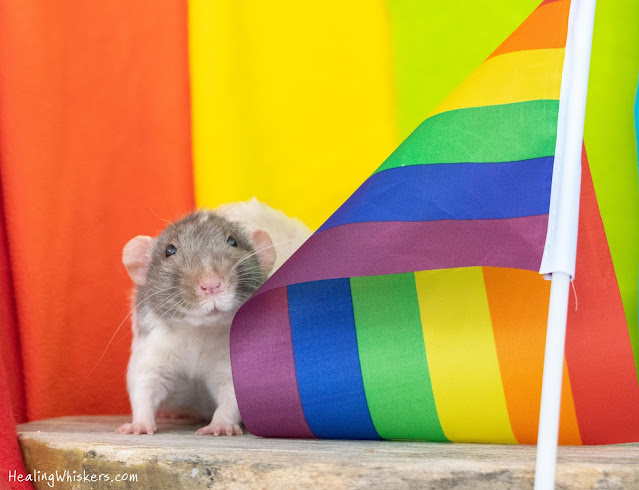 Vincent the Therapy Rat celebrates Pride Month