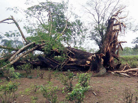 Storm uprooted tree in Debpara Tea Estate in Banarhat, Jalpaiguri