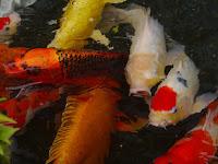 Cara Mudah Budidaya Ikan Koi dengan Kolam Terpal