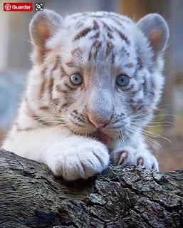 Green Pear Diaries, animales bebé, crías, tiernos, tigre blanco