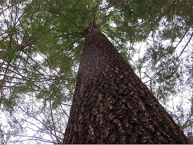 Looking Up Trunk of Large White Pine on Broad Brook, Northampton MA