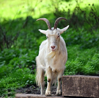 Essay on Goat in Hindi